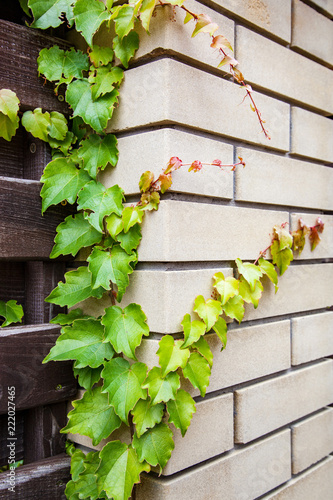 Foto op Aluminium Op straat Curling Ivy Plant on the Fence