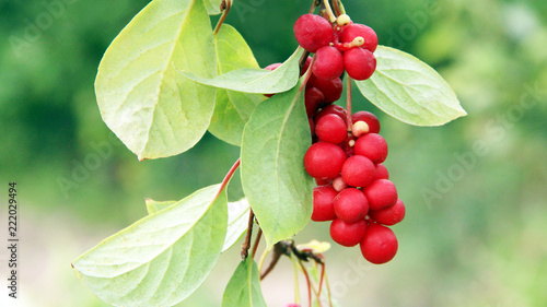 Branches of red schisandra. Schizandra chinensis plant with fruits on branch