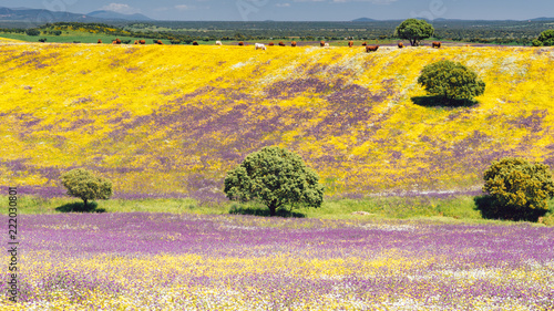 Field of spring of fresh white daisies, lavender, multifloral natural panoramic landscape