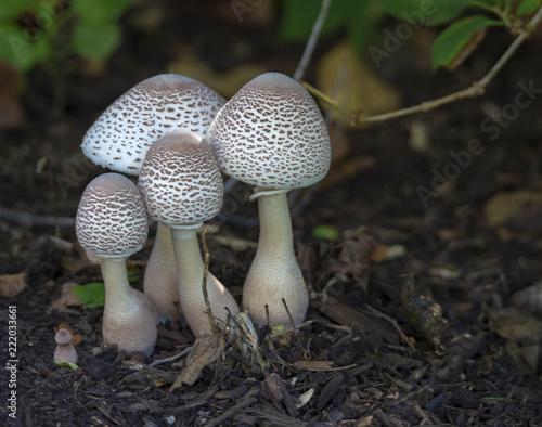 Photo Parasol Mushrooms