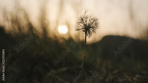 Fotografie, Obraz A single, old and wilted dandelion against a nature background during sunset