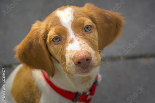 Fotografie, Obraz  Brittany Spaniel Pup