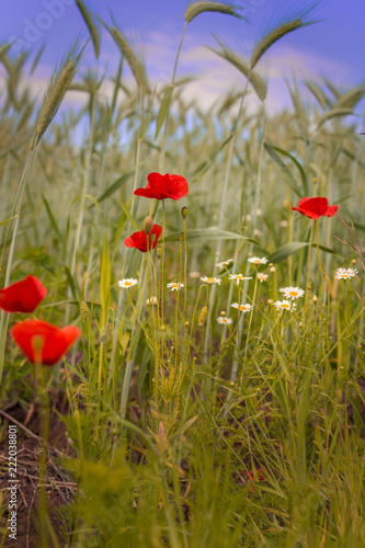 Foto op Plexiglas Klaprozen Poppies in a wheat field