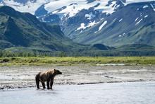 Coastal Alaska Brown Bear Wand...