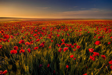 Poppy Field In A Wheat Field A...