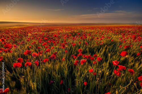 Poppy field in a wheat field against blue sky