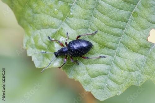 The snout beetle Otiorhynchus coecus, on a green leaf. Wallpaper Mural
