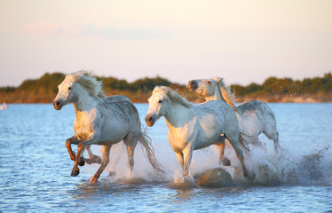 White Camargue Horse is running along the water in a shallow lagoon with beautiful evening light. Parc Regional de Camargue. France. Provence.