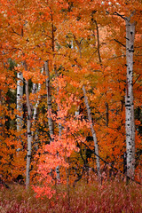 FototapetaBirch Aspen Trees in Autumn Fall