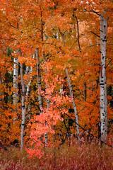 Fototapeta Jesień Birch Aspen Trees in Autumn Fall