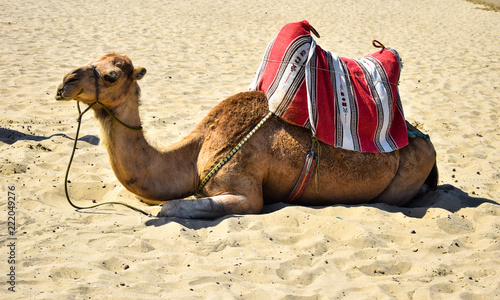Fotobehang Indiërs Beautiful Camel in Sea. Moroccan Coast Cabo Negro city, Morocco