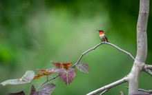 Perched Ruby Throated Hummingb...