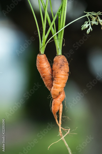 Fototapeta  intertwined carrots