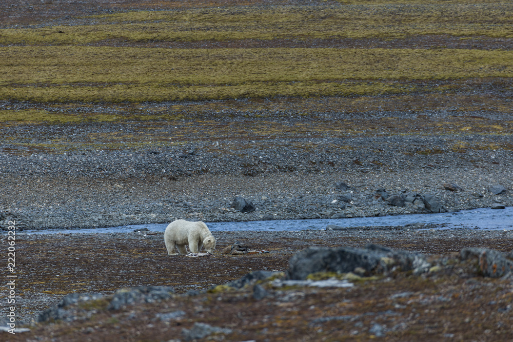 A polar bear eating small reindeer.