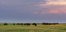 Evening Light Shines Over Herd Of Grazing Bison