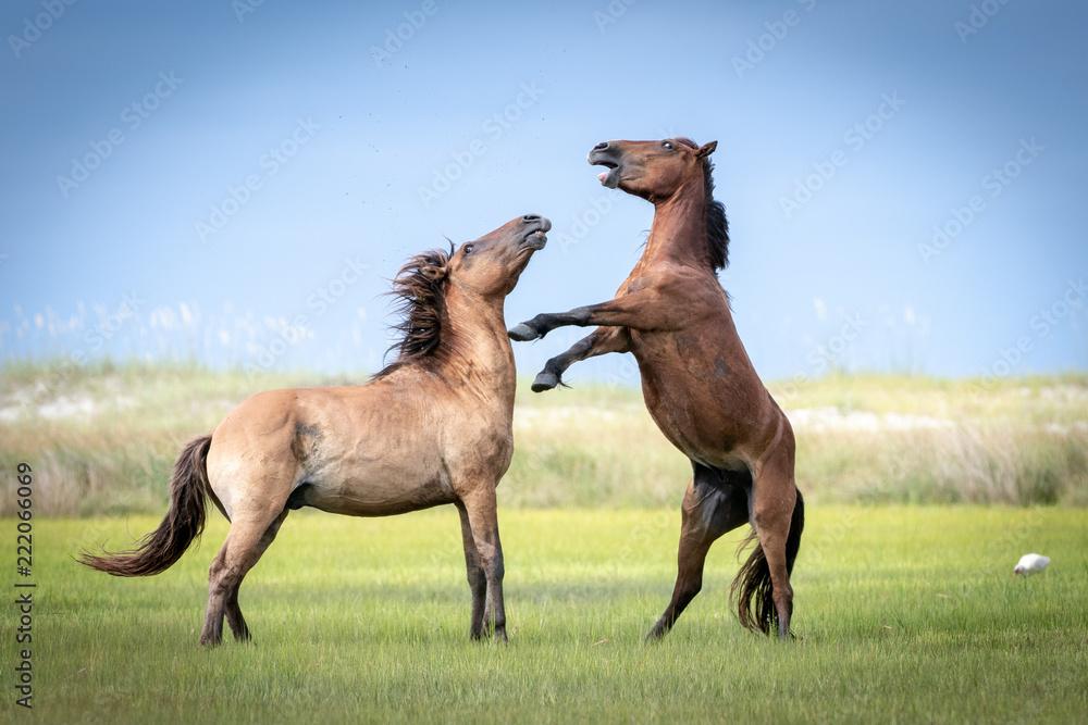 Fototapety, obrazy: Horse Fight