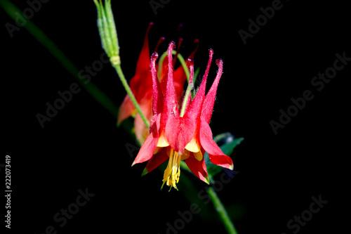 Canvas Print Red Columbine flowers on black background