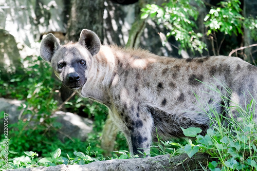In de dag Hyena Wildlife of Hyena in the zoo at Thailand