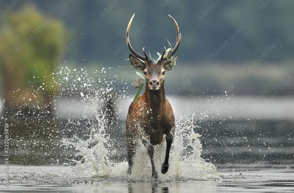 Deer buck (Cervus elaphus)