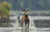 Fototapeta Zwierzęta - Deer buck (Cervus elaphus)