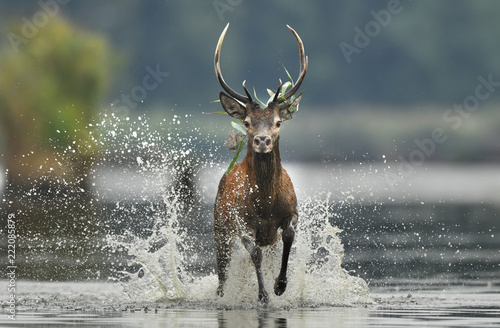 Photo sur Toile Cerf Deer buck (Cervus elaphus)