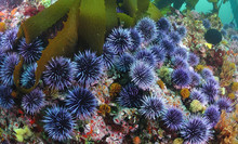 Blue Sea Urchin