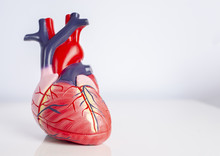 Isolated Model Of A Human Heart On White Background.