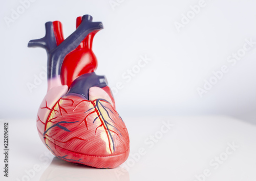 Isolated model of a human heart on white background. Canvas Print