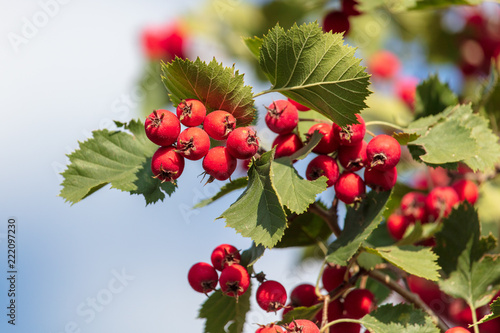 Obraz na plátně Red hawthorn berries on the branches of a tree
