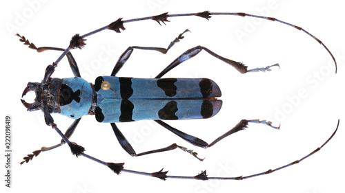 Fotografia, Obraz Rosalia lameerei-a Cerambycidae Longhorn beetle