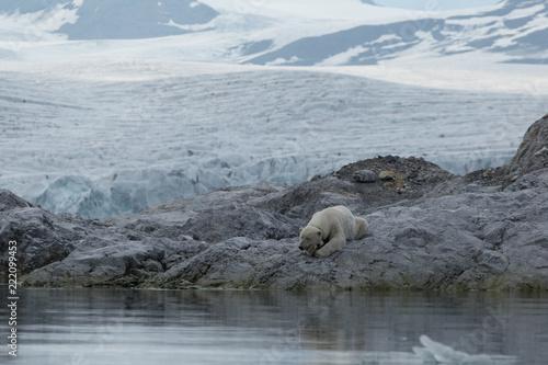 Poster Polar bear Female polar bear with collar in Svalbard.