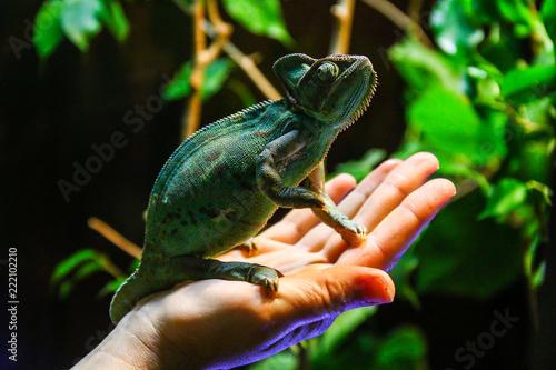 Poster Chamaleon green chameleon on hand