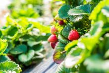 Strawberries On A Farm Field.
