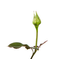 Rose Bud With Foliage Isolate ...