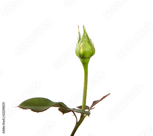 Photo rose bud with foliage isolate on white background