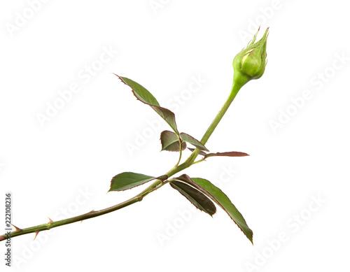 Foto rose bud with foliage isolate on white background