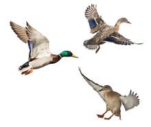 Three Mallard Ducks Isolated O...