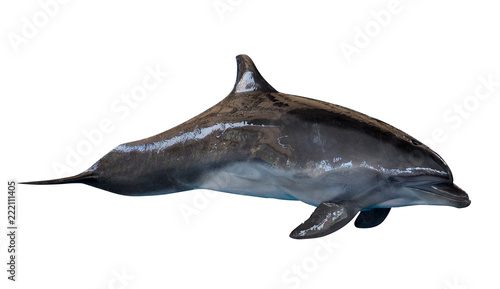 Fotografie, Tablou common bottlenose dolphin isolated on white