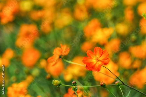 Poster Oranje eclat orange cosmos close up