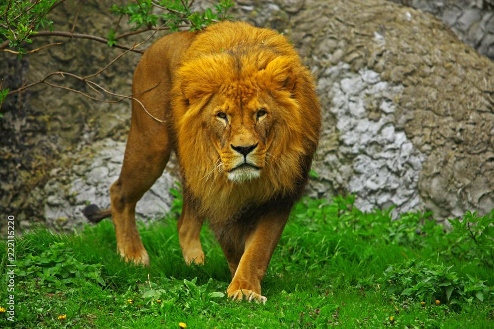Fototapeta Lew w zoo