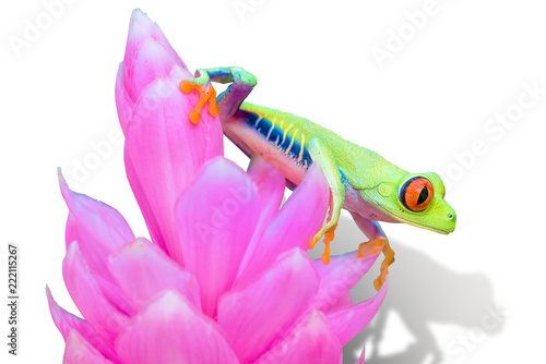 Photo Red-eyed Tree Frog