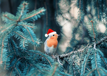 Funny Little Bird Robin In Christmas Red Cap Sitting In The Branches Of The Christmas Tree In The Winter Park On A Clear Holiday