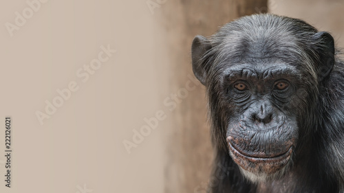 Portrait of funny Chimpanzee with a smugly smile, at smooth background