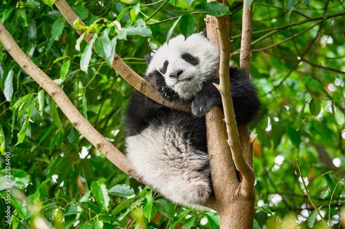 Fotografia, Obraz  Giant panda bear in China