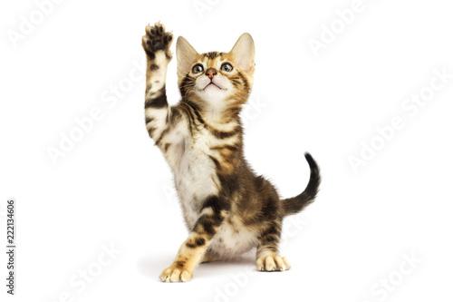 Cuadros en Lienzo tabby kitten its paw