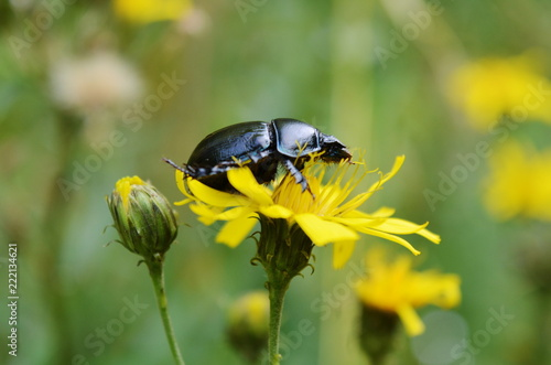 Black beetle (Anoplotrupes stercorosus) close-up on a yellow