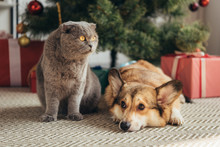 Scottish Fold Cat And Welsh Co...
