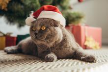 Cute Scottish Fold Cat In Santa Hat Lying Under Christmas Tree