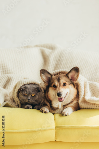 Fotografie, Obraz  cute welsh corgi dog and cat lying under blanket on sofa