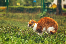 Young Male Ginger Cat Is Scared And Bristle With Arch Back, In Green Grass